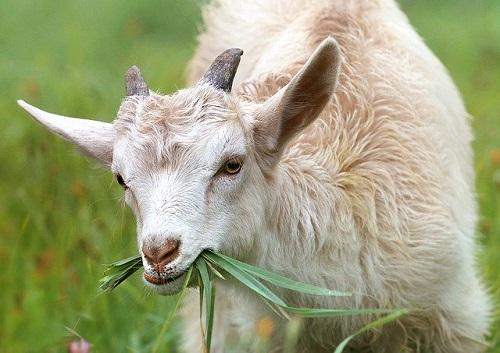 goat-1596880_640.jpg